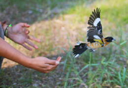 New Insights into Demographic Causes of Bird Population Declines Will Improve Conservation Efforts